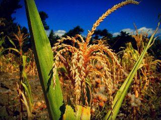 field corn organic corncob
