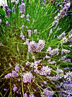 bee lavender flower nature